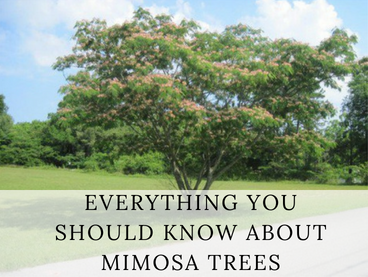 Many mimosa trees get much bigger than this one.