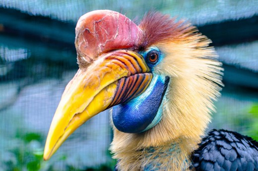 The striking looking helmeted hornbill