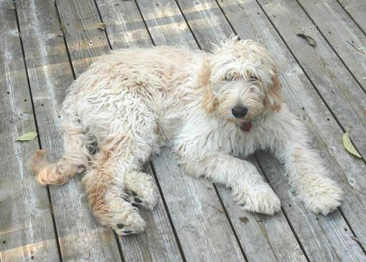 While some dogs are just prone to hot spots, our Golden Doodle was lucky as his were minimal.