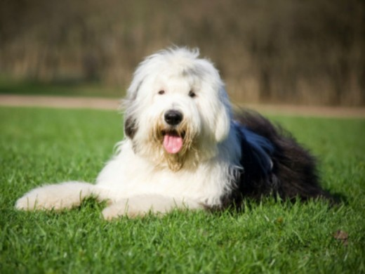 Our Old English Sheepdog was prone to hot spots.