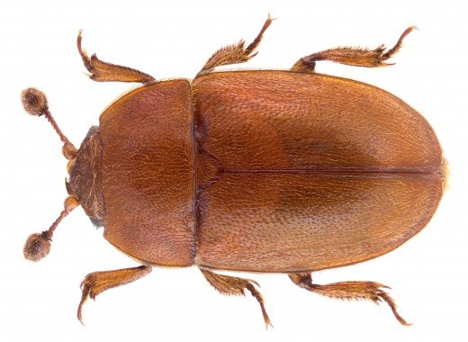 A tasty beetle.