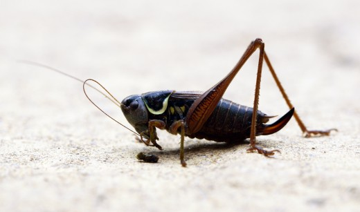In the future, crickets may replace your fancy steak dinner.