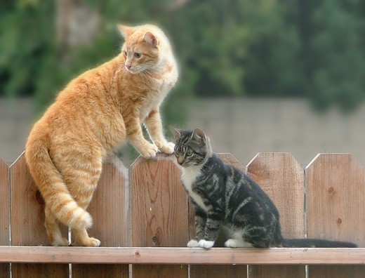 Regular fences do NOT keep cats in!