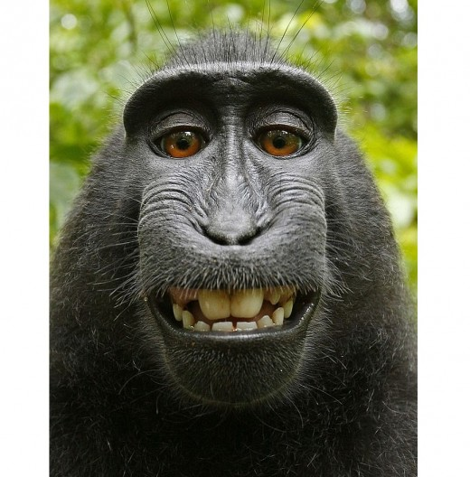 The infamous Macaque monkey photo with its toothy grin. Self-portrait of a Celebes crested macaque (Macaca nigra) in North Sulawesi, Indonesia.