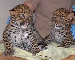 2 Endangered Amur Leopard Cubs Born in Illinois Zoo