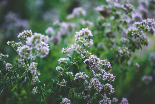 oregano blossoms, late in the season (the bees love it).