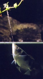 Archerfish will shoot on any thing that moves on top of his sight. In this picture, the archer fish hits the bulls eye, the insect that is, for a delectable and mouthwatering meal.