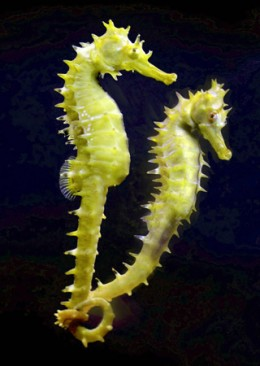 A seahorse couple, they are described to have the head of the  horse, pouch of the kangaroo, tail of a chimpanzee, the tough outer skeleton of an insect and independently moving eyes of the chameleons. Males carries the babies for extra protection.