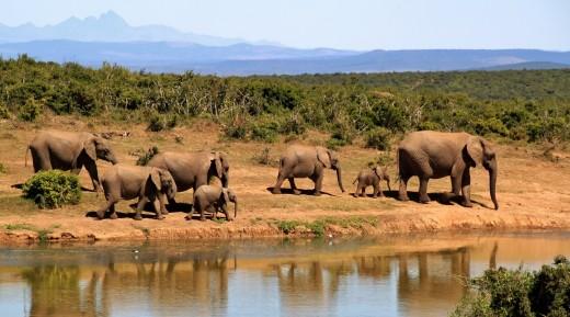 On Safari: Elephants