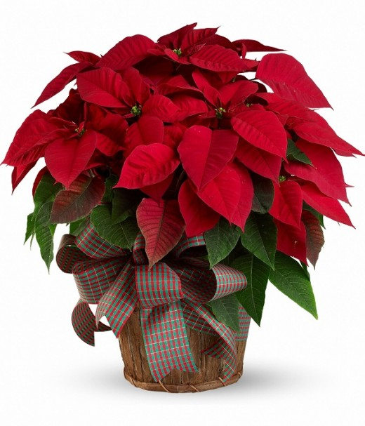 The beautiful poinsettia that I saw in my dream when my father came for a visit