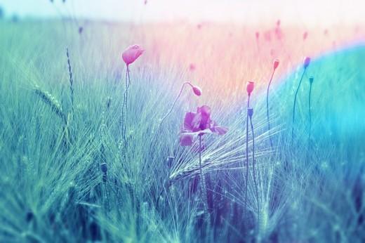 A Blue Fire Ebbs through the Wheat Field