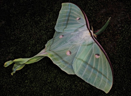 The Luna moth shakes its tails to produce sounds that distracts predators from delivering a fatal bite