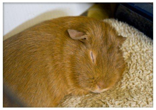 ¿Otra bonificación adicional para la lana? ¡Tus cobayos lo adorarán! Teniendo una jaula limpia y seca te permite hacer pequeñas almohadas y camas para que sus cobayos puedan descansar, sin tener que preocuparse de que se ensucien en minutos.