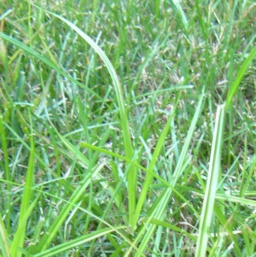 The Enemy: Nutsedge sprouts up through the grasses in my lawn