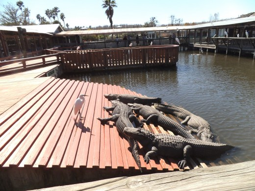 You'll find plenty of alligators and lots of birds as well. Take your camera.