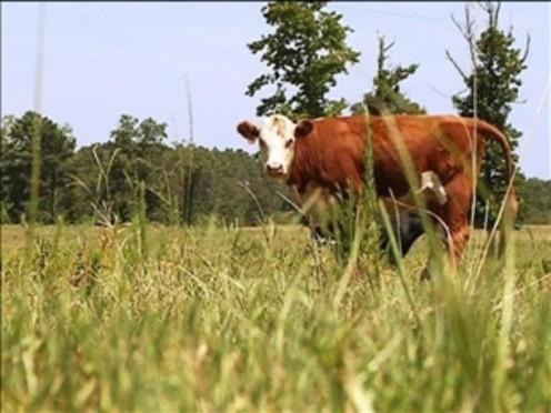 Howard was raising stock cattle
