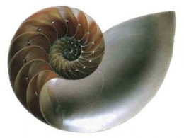 The shell of the chambered Nautilus has Golden proportions. It is a logarithmic spiral.