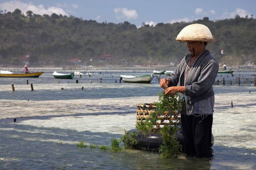Seaweeds can be grown on ropes.