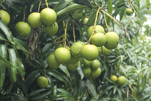 Toxin of unripe mangoes has less side effect in a warm liquid
