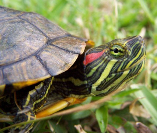 A red slider; it's face has beautiful colors but it has a pretty dull looking shell.