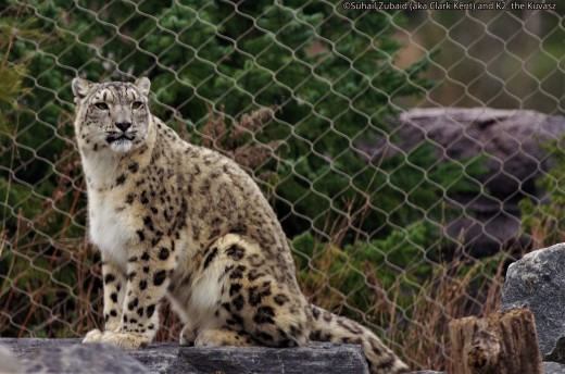 Snow leopard at Toronto Zoo. It  is a poster wild cat of Pakistan.