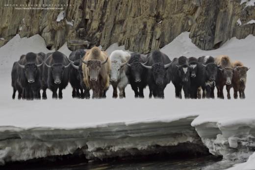 Wild yaks.