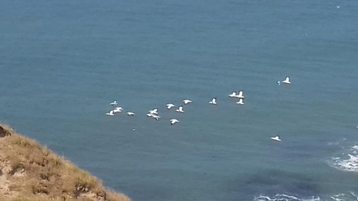 A flock of Northern gannets streaming past Flamborough Head towards their nest sites at Bempton Cliffs.
