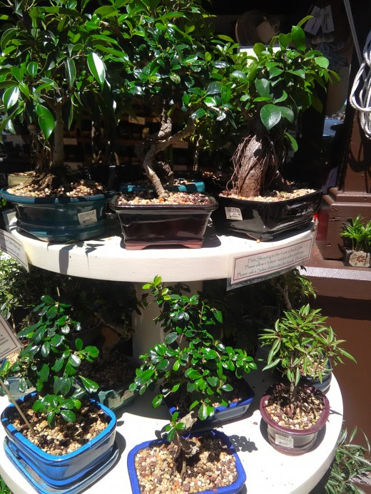 Bonsai Exhibition at Epcot Center Garden Festival 2018