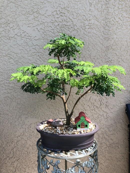 My Brazilian Rain Tree Bonsai