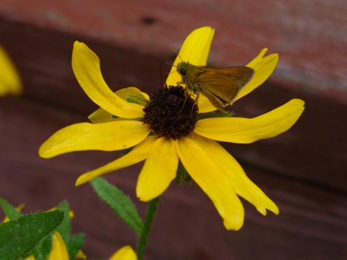 One of my Rudbeckia Black eyed Susan's with a moth visitor, in my butterfly garden.