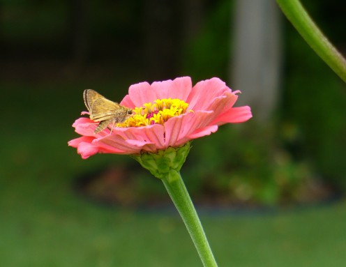 Another visitor, to another zinnia