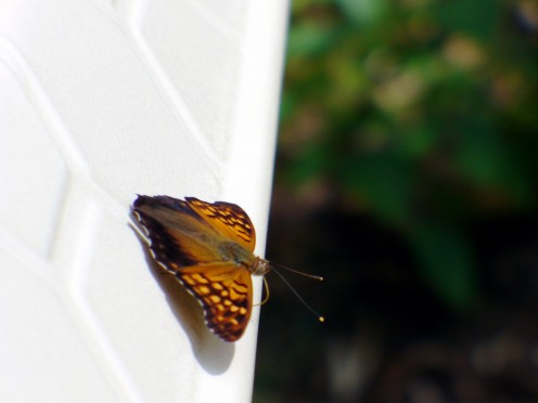 Another type of butterfly, sunning on the pool edge, right on border of the garden.