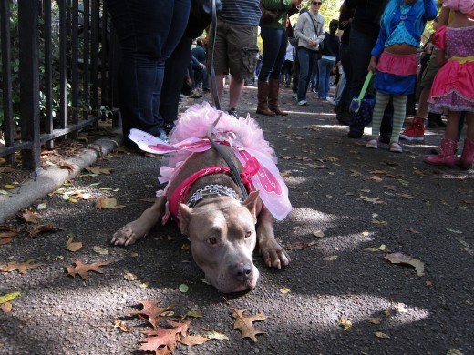 Even a dog can become weary of a parade