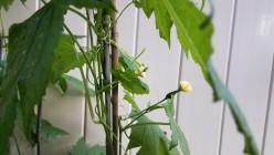 Momordica Charantia - Bitter Melon or Ampalaya