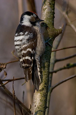 A photo of a Lesser Spotted Woodpecker similar to the one I saw at Elmdon Park during the all day bird race.