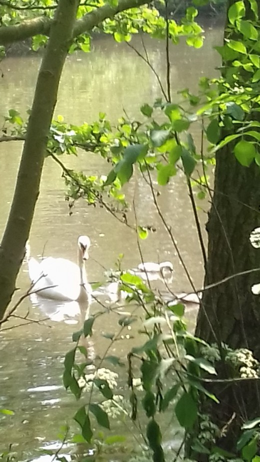 A photograph of the resident Mute Swan at Elmdon Park Lake with cygnets taken earlier in the year.