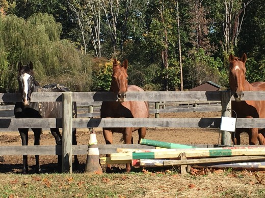 Molly with her field friends, who she likes to follow around the arena during lessons if allowed to.