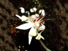 Image:xocoatl.org Flower of the cacao tree