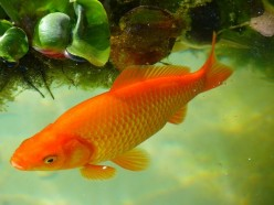 Everything You Need to Know About Common Goldfish