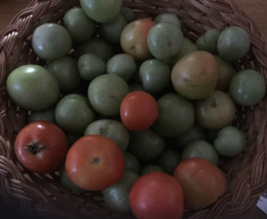 There are still some green and red tomatoes to use