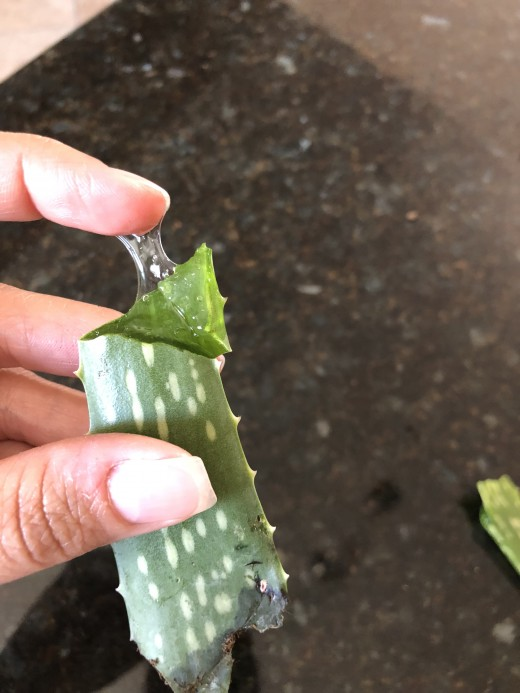 Squeezing Aloe Leaf to Extract Aloe Vera Gel