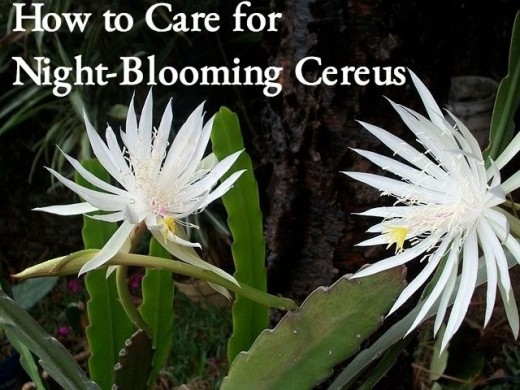 Night-blooming cereus flowers bloom once when the temperatures are low. By morning the petals are beginning to wilt.
