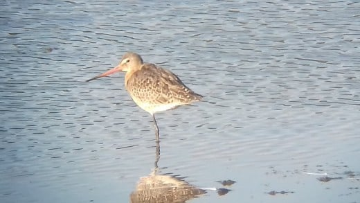 I did a slightly better job of capturing this beautiful juvenile Black-tailed Godwit.