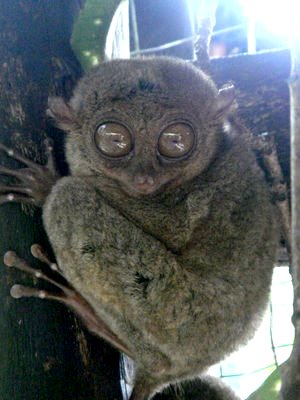 The world's smallest primate/monkey, about 4-5 inches & weighs below 140 grams found in Bohol.