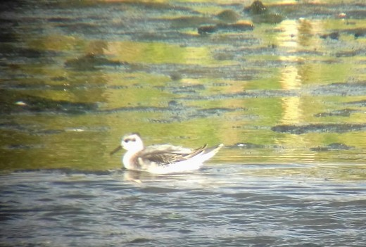Another photo of one of the two 1st-winter Grey Phalaropes present at Napton Reservoir. Photo Source: James Kenny