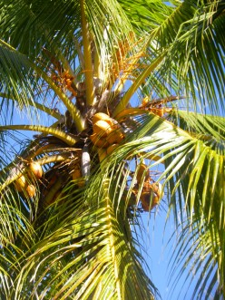 Coconuts Are Trying to Kill Us All