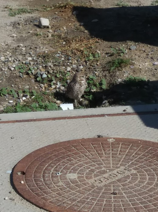 Alfie the airfield owl maintaining its ever constant vigilance over the Lindbergh Field runways.