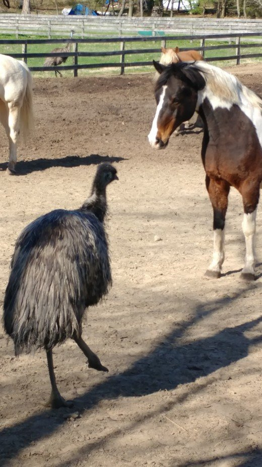 C is for confusion. Like the look on  Buddy's face when a emu showed up in his field.