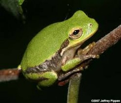 Has the Squirrel Tree Frog (Hyla squirella) Leap-Frogged North?