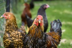 The 10 Minute Guide to the 4 Best Tips on How to Rear Healthy Backyard Chickens.